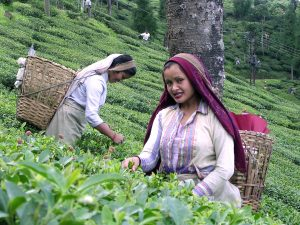 Darjeeling Tea Worker