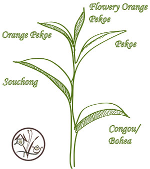 Grading of tea leaves and caffeine content